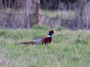 Pheasant 1 march 2010 phil w