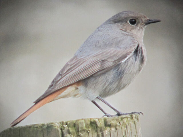 File:Black redstart 28032010 1 small.jpg