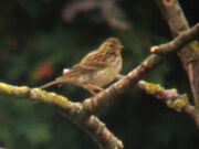 Tree pipit canons 06082010 1 small