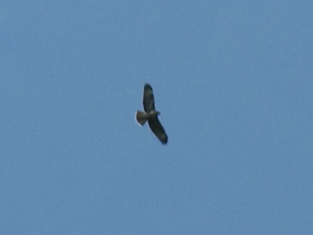 File:Common buzzard 01092010 1 small.jpg