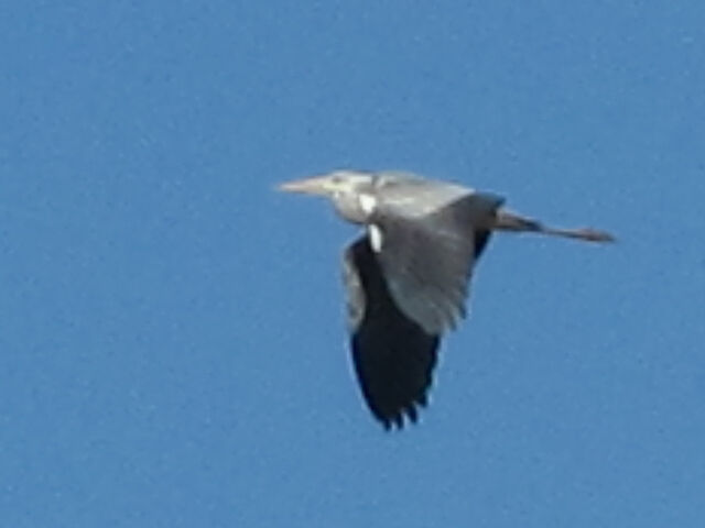 File:Grey heron 17042010 1 small.jpg