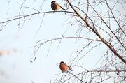 Bullfinch Pair 26112010 mark stanley