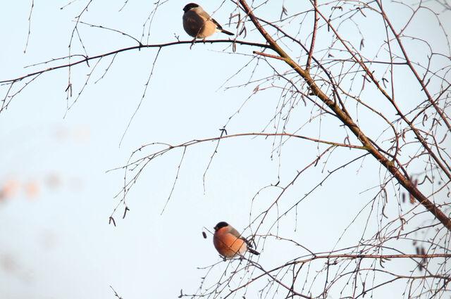 File:Bullfinch Pair 26112010 mark stanley.jpg