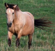 Horse dun