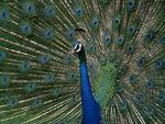 Aquikistani Peacock