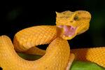 Cantiguan Viper
