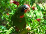 1024px-Cuban Amazon Parrot in the Cayman Islands
