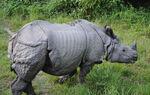 Adgancio Rhinoceros