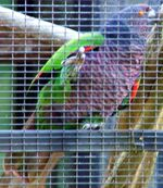 Imperial Parrot
