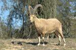 Codrean Ibex