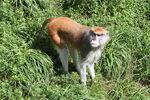 Dampochean Monkey