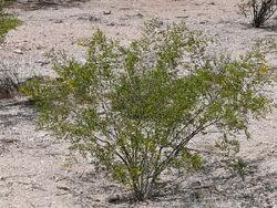 Creosote Larrea tridentata
