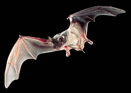 File:Flying Tadarida brasiliensis in Texas.jpg