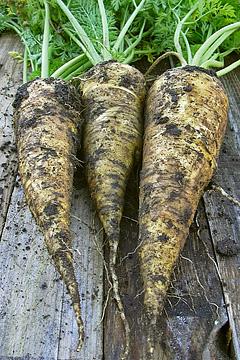 Gulerod lubiana