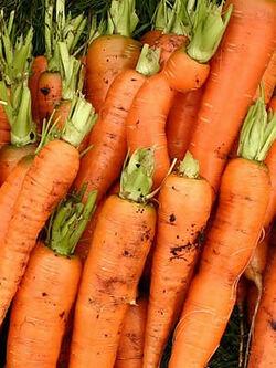 Carrot egmont gold