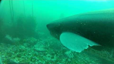 Seven Gill Sharks Cape Town South Africa