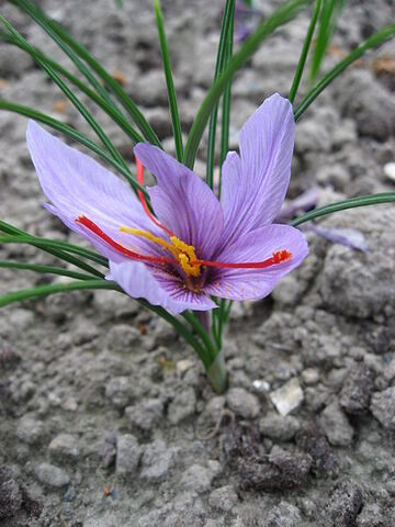 Archivo:Crocus sativus 02 by Line1.JPG