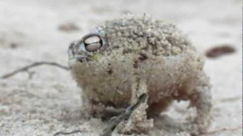 Namaqua rain frog - Breviceps namaquensis