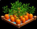 CarrotsIrrigated 02