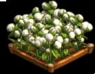 Cotton 02