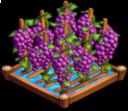 GrapesIrrigated 02