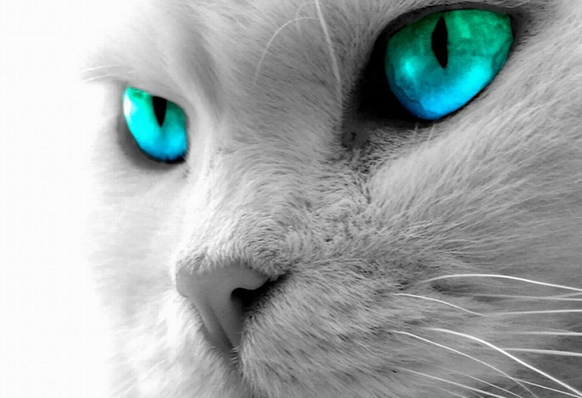 Small Red Blue Eyed Kitten Grey Stock Photo Edit Now