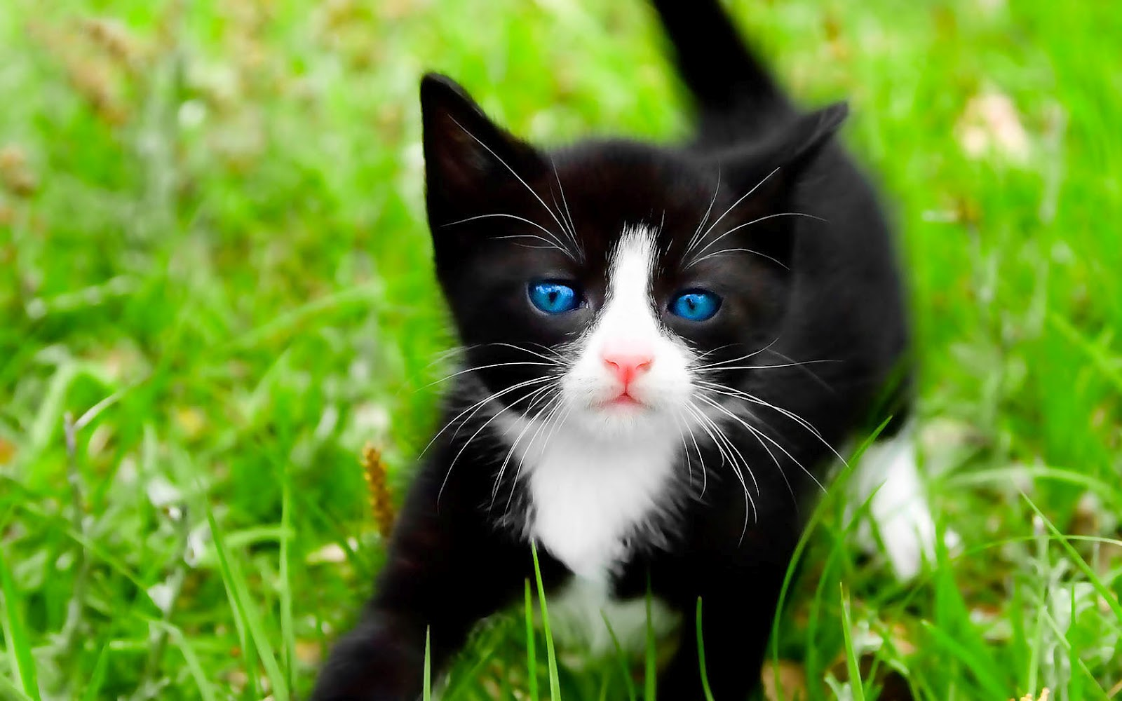 image hd cat wallpaper with black cat on the grass hd cats hd