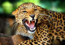 Леопард злится