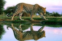 Леопард озеро