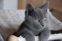 Шартрез котёнок