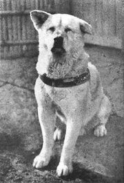 Old hachiko