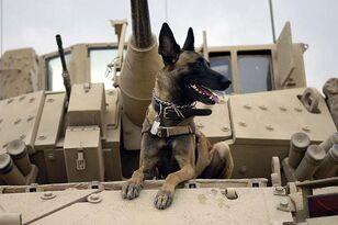 War dog on top of tank in Iraq - Wikipedia