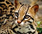 Ocelot-small cats