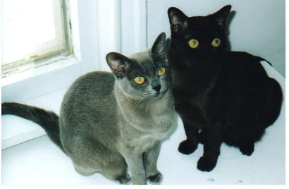 Burmese Cats Wiki Fandom