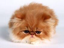Beautiful Orange Teacup Persian Cat