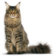 Maine-coon (1)