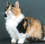 Munchkin cat pic