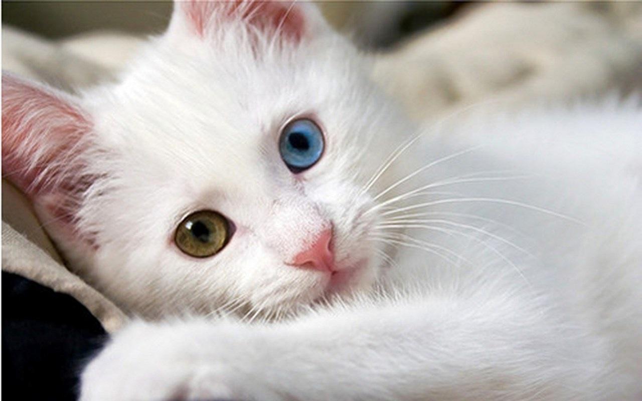 Αποτέλεσμα εικόνας για Van cat