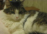 CrystalAmerican Longhair Cat