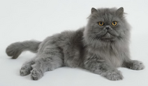 Gray Persian Kitten Relax