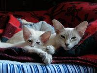 Javanesecats