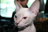 Cat don sphinx