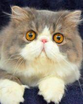 Persian Cat With Orange Eye