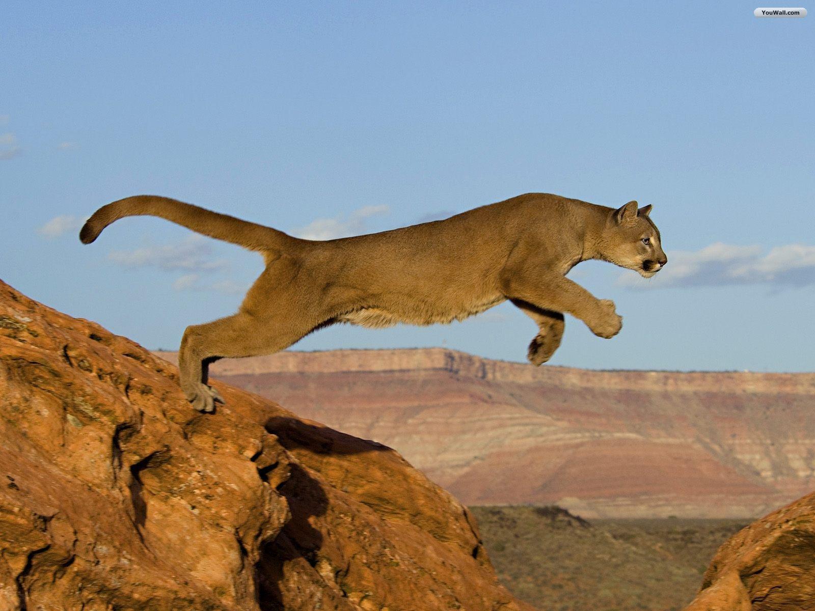 pas mal 4d389 30517 Puma | Cats Wiki | FANDOM powered by Wikia