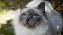 Persian White Cat In Forest