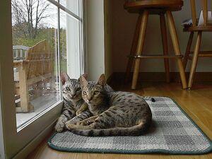 Oreo and Shadow Ocicats