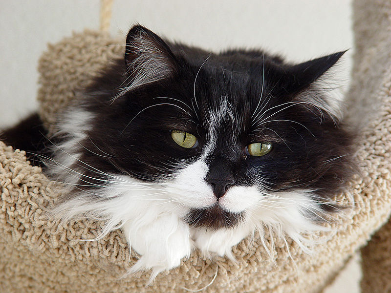 What You Must Know About the Tuxedo Cat and its Coat Patterns  |Tuxedo Munchkin Cat Kittens