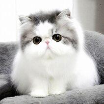 White And Grey Beautiful Persian Kitten