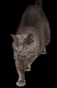 Chartreux Cat 1