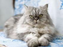 Persian Grey With Green Eyes
